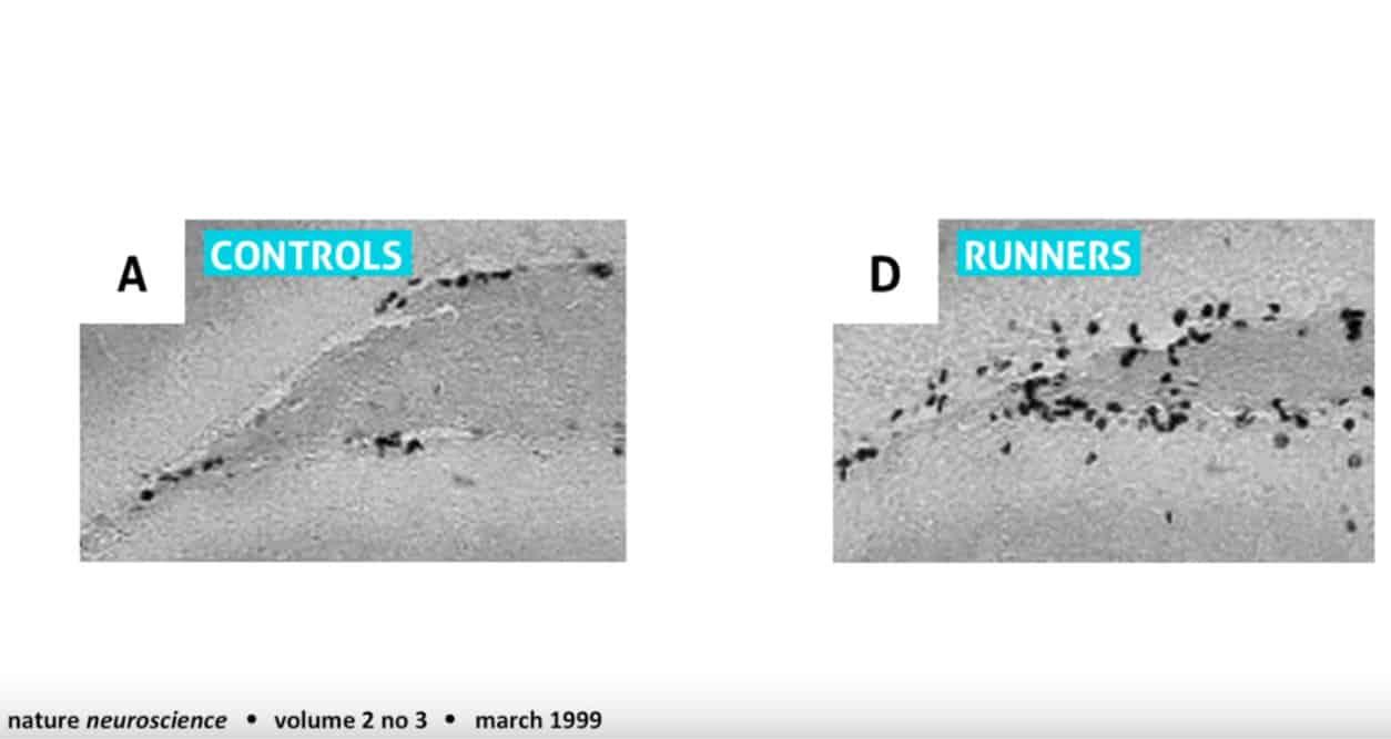 صورة لخلايا مخ الفأر مكبرة، تبين نمو الخلايا (يمين) بسبب رياضة الركض، بالمقارنة مع الخلايا في مخ فئران لم يسمح لهم بالركض (يسار).